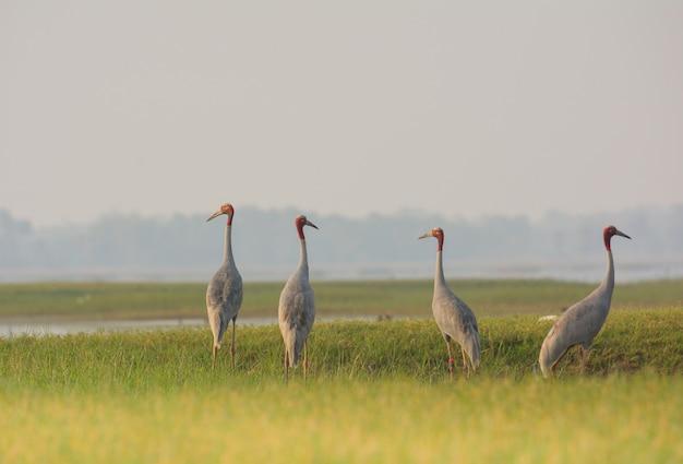 Sarus crane, bel oiseau en thaïlande.