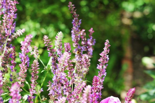 Saule-herbe fleur pourpre dans le jardin