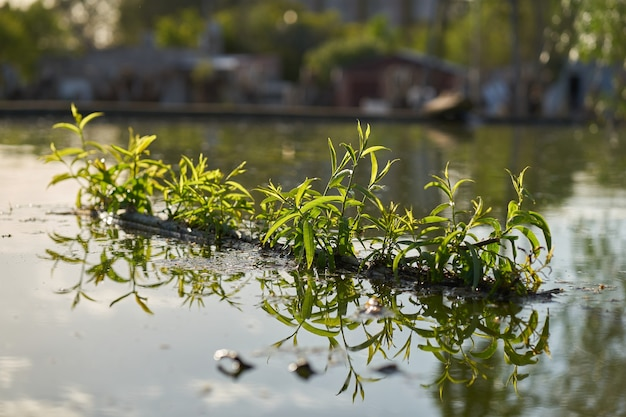 Saule pleureur salix babylonica branches d'arbres flottant dans un étang avec de nouveaux bourgeons et feuilles