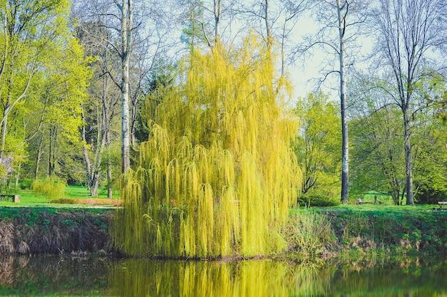Saule sur la rivière au printemps avec filtre