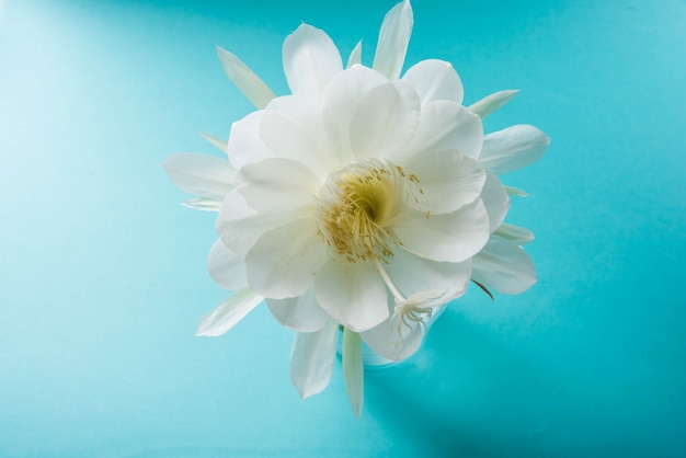 Saussurea obvallata ou brahma kamal fleur ou lotus blanc, il est originaire de l'himalaya et de l'uttarakhand, inde, isolé
