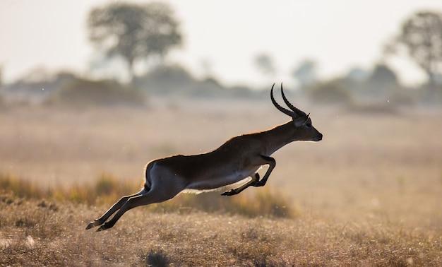Saut d'antilope