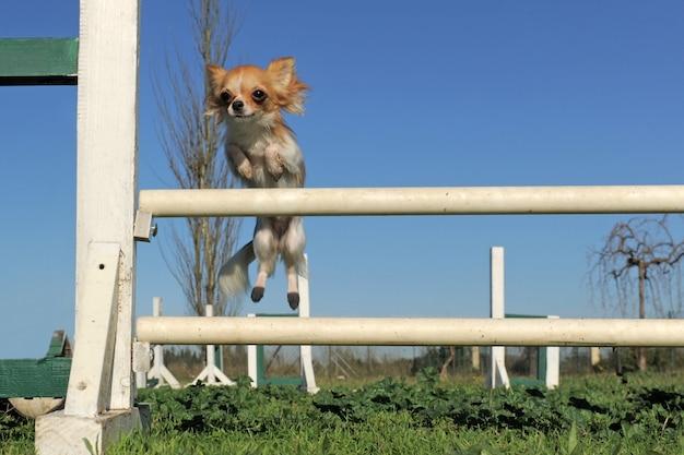 Sauter chihuahua en compétition d'agilité