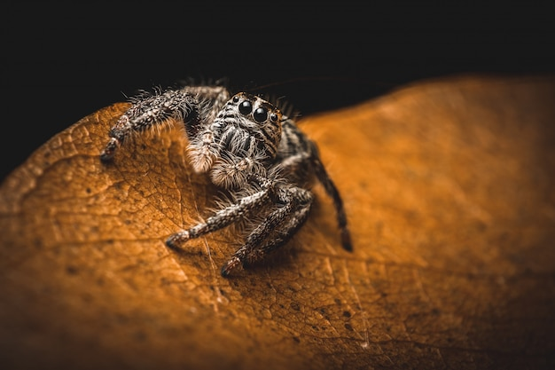 Sauter le hyllus d'araignée sur les feuilles sèches