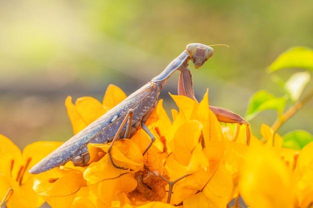 La sauterelle brune enceinte est sur la fleur d'oranger.