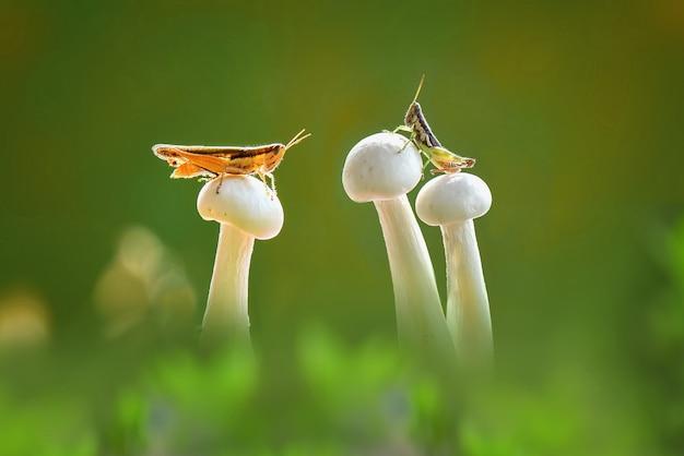 Sauterelle sur champignon avec fond vert