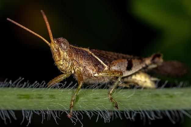 Sauterelle à cornes courtes adulte de la famille des acrididae