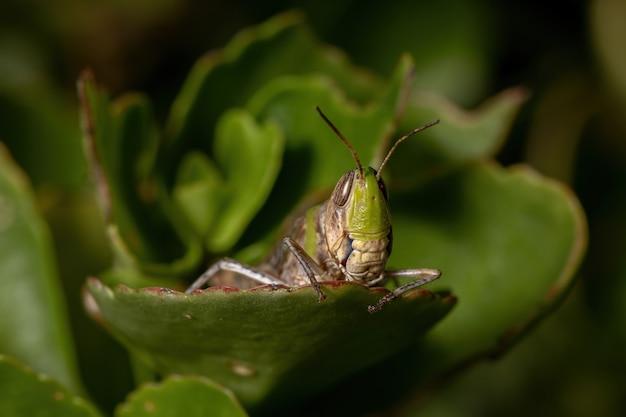 Sauterelle à face oblique stridulant adultes de la tribu scyllinini