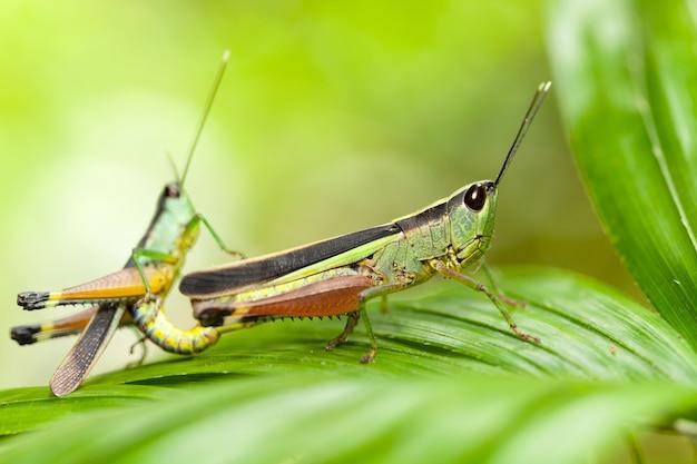 Une sauterelle sur une feuille verte, prairie de sauterelles.