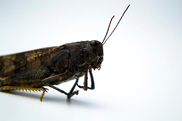 Sauterelle sur fond blanc photo pour votre article sur les insectes un phoque sur un t-shirt à propos de p
