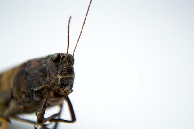 Sauterelle sur fond blanc photo pour votre article sur les insectes un phoque sur un tshirt