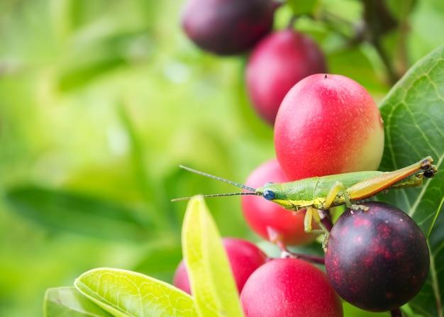 Sauterelle sur les fruits de baies roses. fond de la nature.