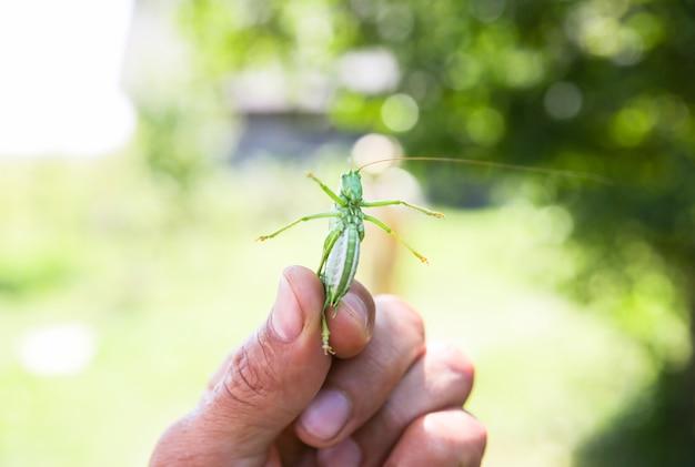 Sauterelle en mains. insecte d'été à l'extérieur.