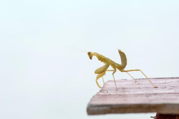 Sauterelle mantodea sur table en bois
