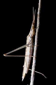 Sauterelle à tête conique (acrida ungarica) pendant la nuit