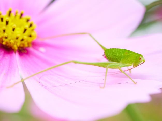 Sauterelle verte sur fleur rose