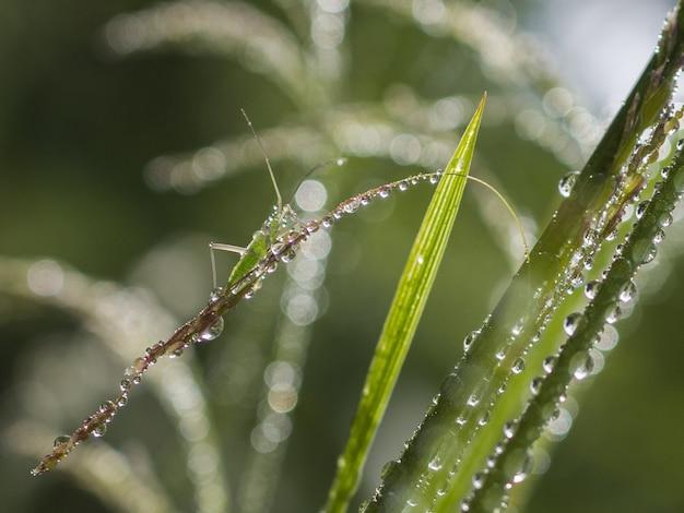Sauterelle verte sur l'herbe