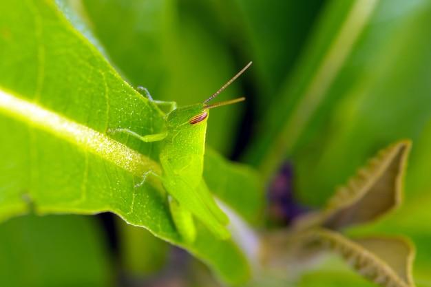 Une sauterelle verte sur une jeune feuille de teck, mise au point sélectionnée.