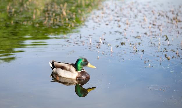 Sauvage jeune beau canard sur le lac se bouchent.