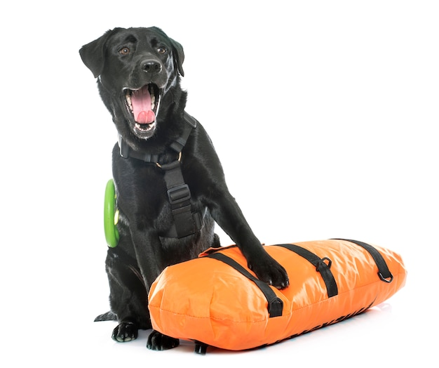 Sauvetage labrador retriever
