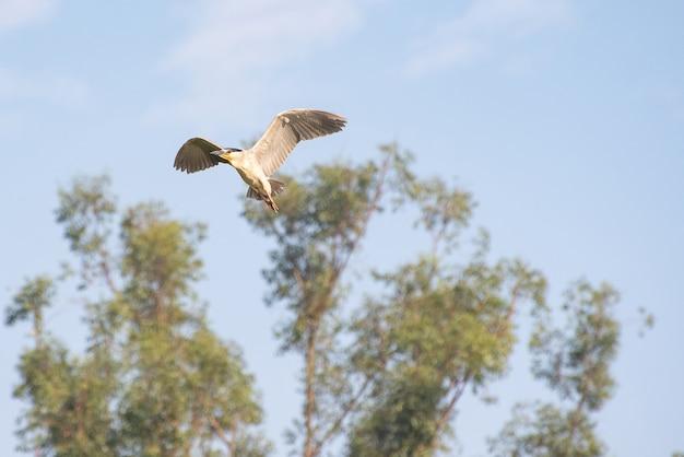 Savacu, beau vol d'un oiseau aquatique appelé savacu au brésil. mise au point sélective.