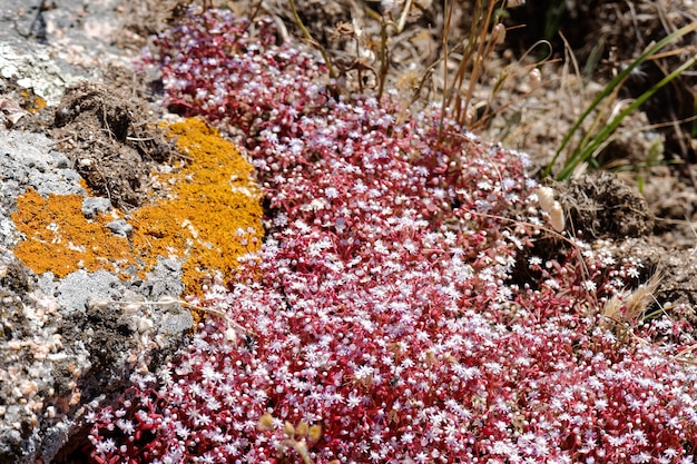 Saxifrage rouge (saxifraga) en sardaigne