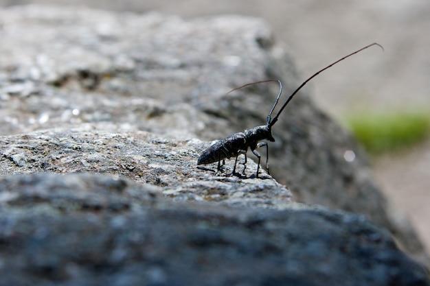 Un scarabée scieur tacheté dans le parc national de yellowstone