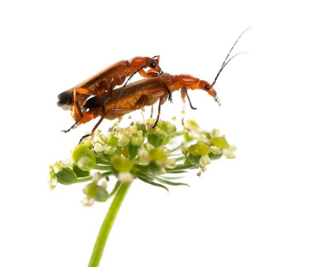 Le scarabée soldat rouge commun, rhagonycha fulva, l'accouplement sur une fleur devant une surface blanche