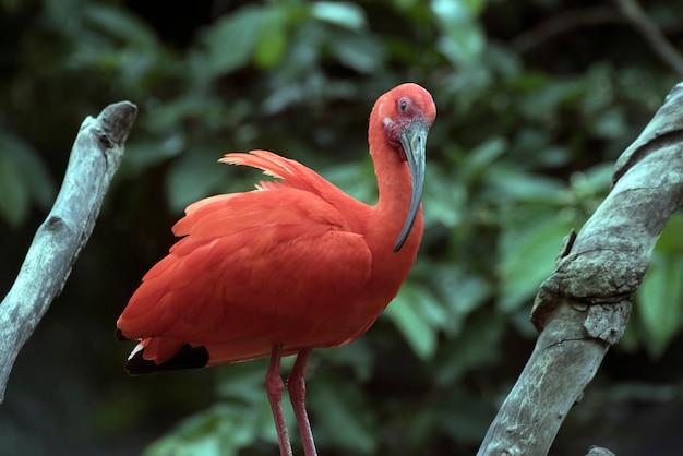 Scarlet ibis gros plan sur un tronc d'arbre