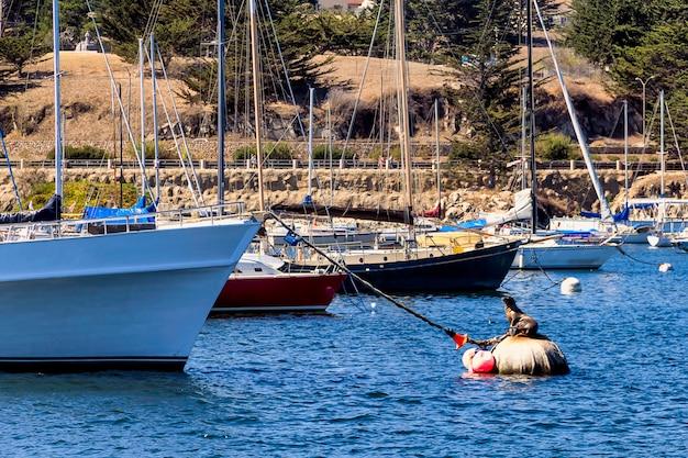 Sceau sur une bouée près de yachts à monterey, californie