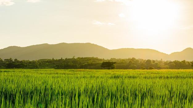Scène de coucher de soleil ou de lever de soleil sur le terrain avec du riz en été au nord de la thaïlande