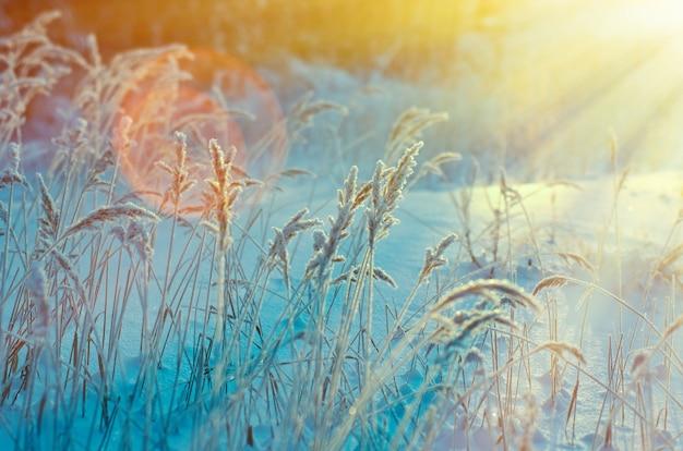 Scène d'hiver. fleur congelée. forêt de pins et coucher de soleil