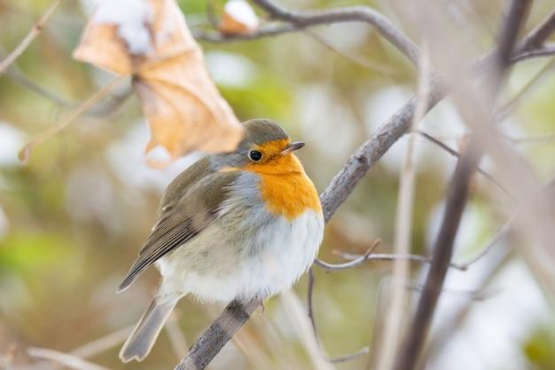 Scène de neige de poitrine rouge robin