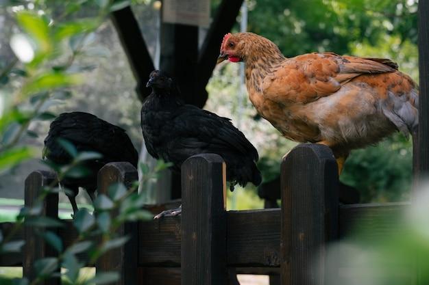 Scène rurale avec des poulets assis sur une clôture