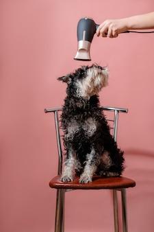 Schnauzer chien sur fond rose et sèche-cheveux en main féminine