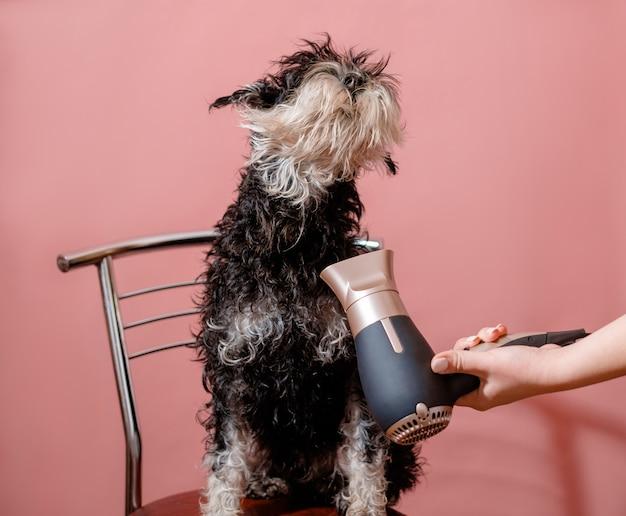 Schnauzer chien et sèche-cheveux à main féminin