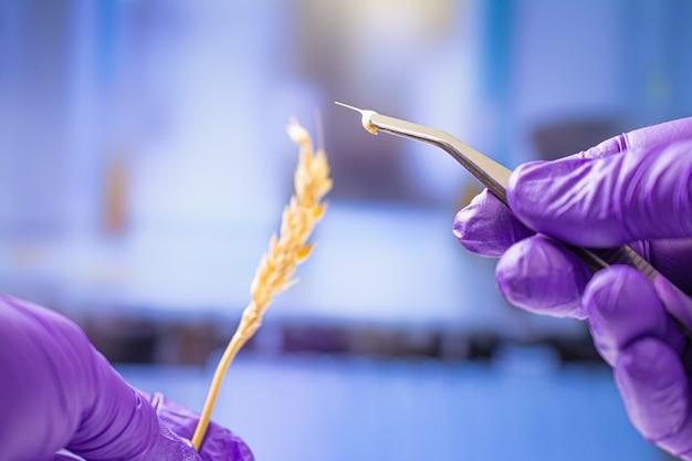 Scientifique professionnel avec des gants examinant des épis de blé, des expériences en laboratoire de chimie