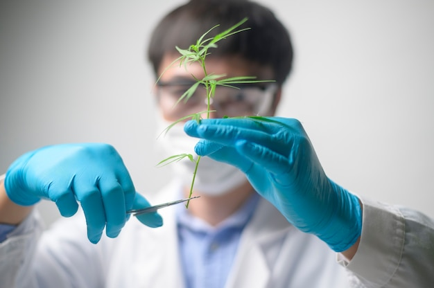 Un scientifique réduit le cannabis sativa à la planification, au concept de médecine alternative