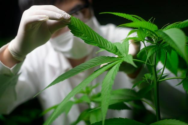 Le scientifique vérifie et analyse des feuilles de cannabis pour l'expérimentation, une plante de chanvre pour l'huile de cbd pharmaceutique à base de plantes dans un laboratoire