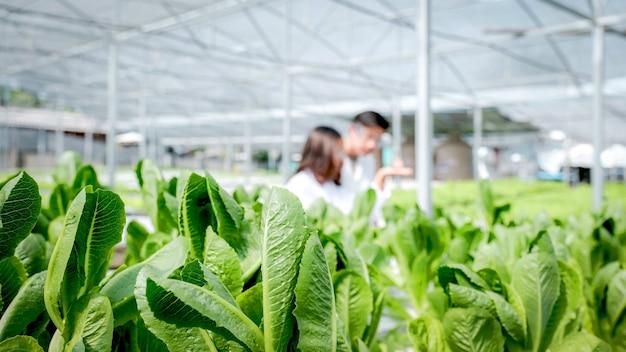 Les scientifiques de la salade de légumes ont examiné la qualité de la laitue biologique de la ferme hydroponique des agriculteurs