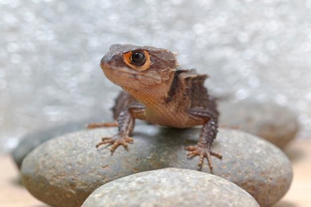 Scinque de crocodile aux yeux rouges sur la pierre