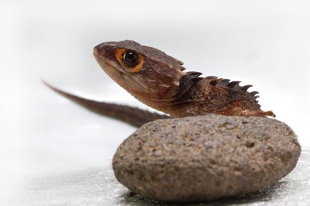 Scinque de crocodile aux yeux rouges
