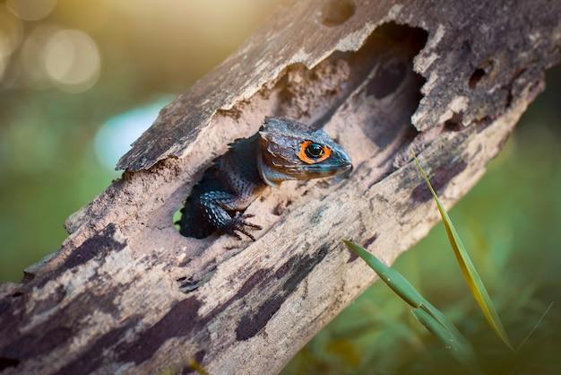 Scinque de crocodile sur bois dans la forêt tropicale