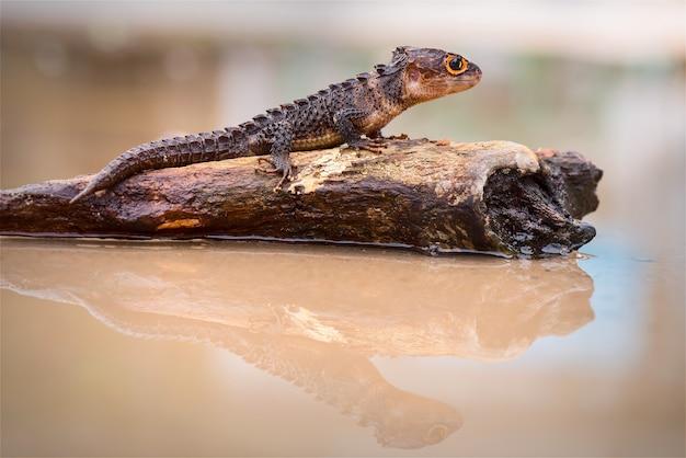 Scinque crocodile sur des brindilles dans la forêt tropicale