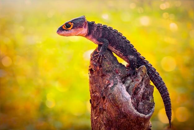 Scinque de crocodile sur des brindilles