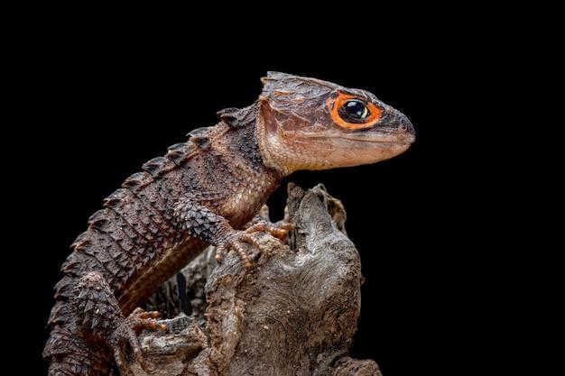 Scinque crocodile sur fond noir