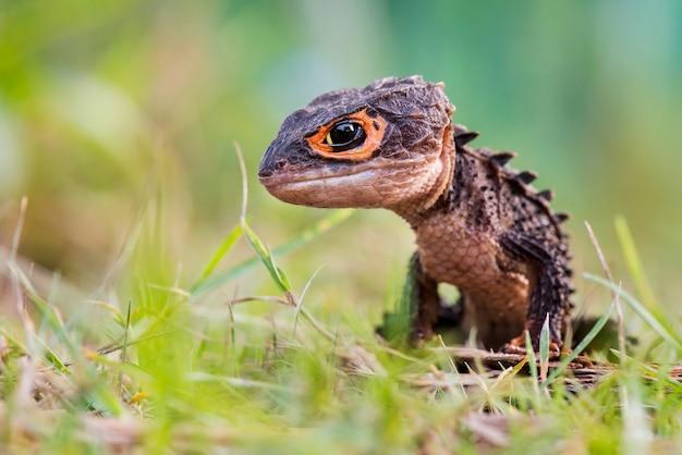 Scinque crocodile sur le sable dans le jardin tropical