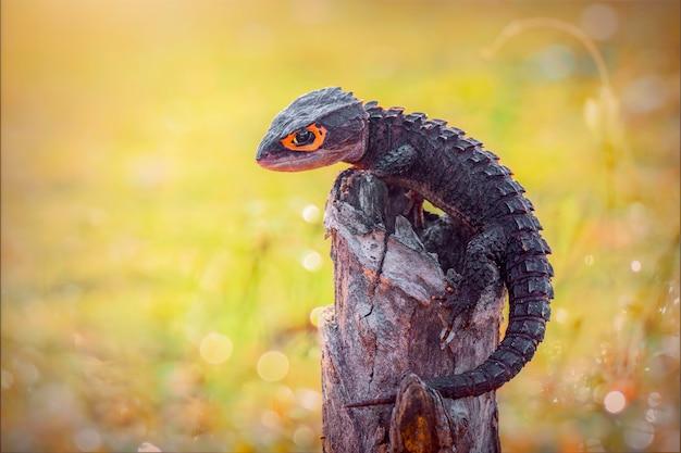 Scinque crocodile sur twis dans un jardin tropical