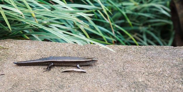 Scinque eutropis multifasciata ou sceau commun soleil avec une queue qui pousse sur le sol du jardin