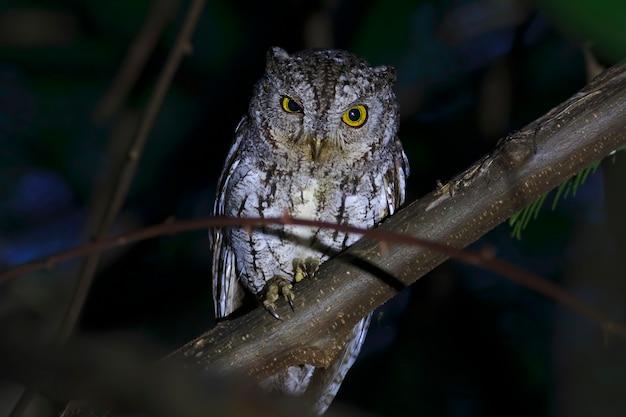 Scops-owl otus sunia de beaux oiseaux de thaïlande